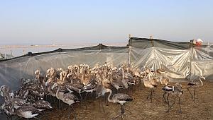İzmir'de Yavru Flamingolar Halkalandı