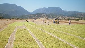 Çekirdeksiz Kuru Üzüm Üretiminde ve İhracatında Türkiye Dünya Birincisi