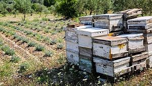İzmir'de Lavanta Üretimi Artıyor