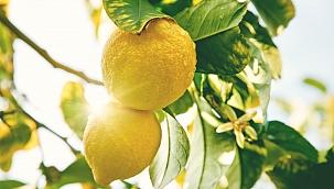 Limon İhracatında Ön İzin Şartı Kaldırıldı