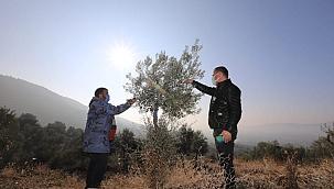 Yabani Zeytin Ağaçları Gelir Kaynağı Oldu